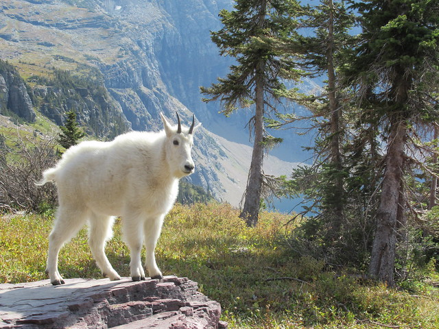 022 - Mountain Goat above Hidden Lake