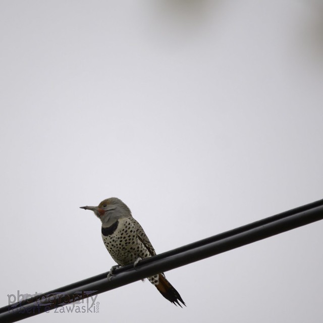 Lots of Northern Flickers around Calgary this year