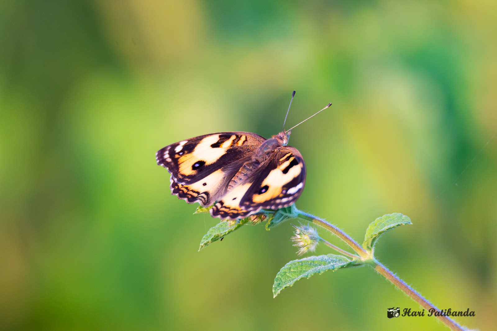A Yellow Pansy Butterfly