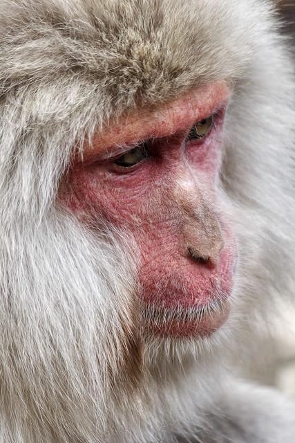 Japanese macaque, Jigokudani Yaen Kōen, Yamanouchi, Jōshin'etsu-kōgen National Park, Nagano Prefecture, Japan