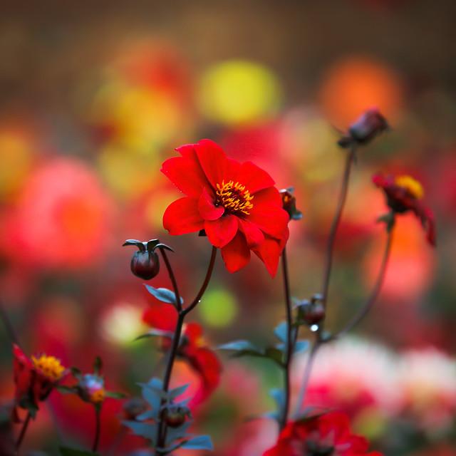Fiery Autumn Dahlias
