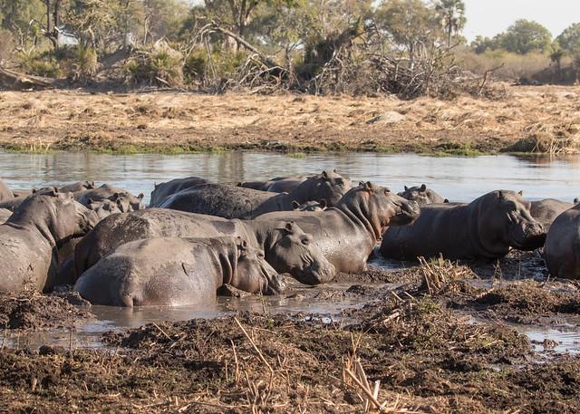 Hippos - Hippopotamus amphibius
