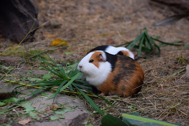 Guinea Pig At Lunch