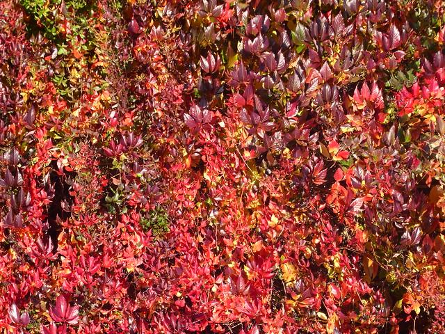 Autumn Ivy, Clerkenwell, London