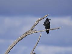 Dead Tree Raven