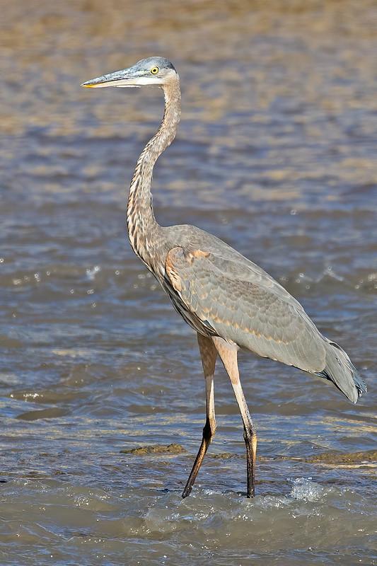Great-Blue-Heron-12-7D2-100919