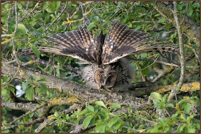 Long-eared Owl (image 1 of 2)