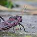 Taeniopoda maxima, Lubber Grasshopper, Saltamontes romaleido