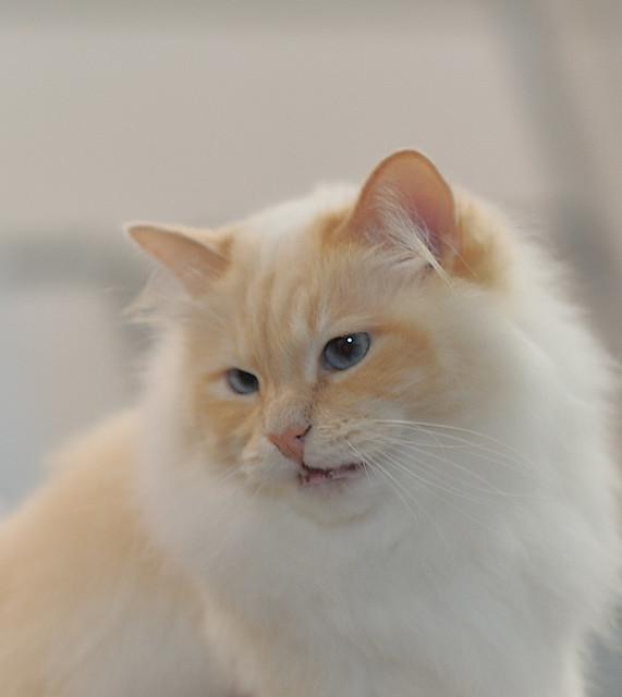 Cupid. Male Norwegian Forest Cat.