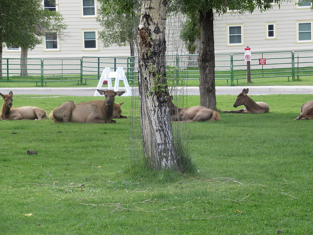 025 - Many Elk in Town at Mammoth Hot Springs