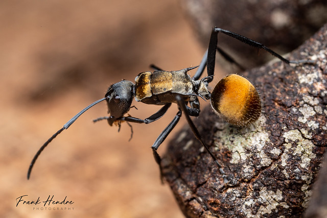 Spiny Ant (Polyrhachis. sp)