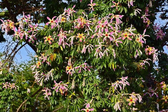 Flowering silk floss tree