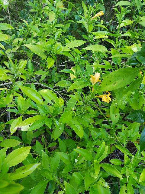 Barleria prionitis L. Acanthaceae- porcupine flower, อังกาบหนู 1