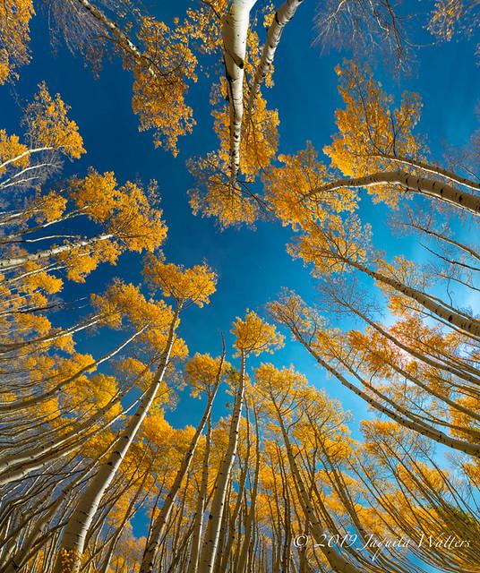 Pano of Aspen trees