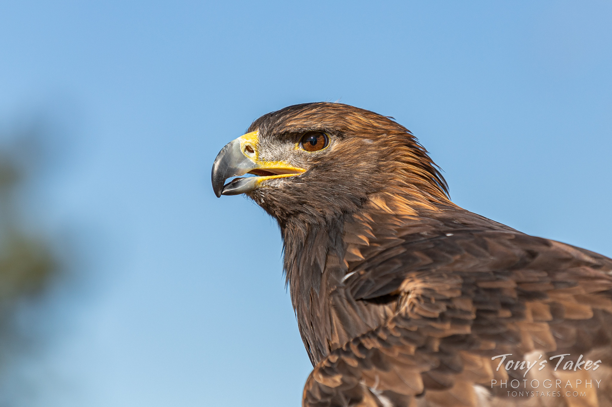 Profile of a gorgeous golden eagle (captive). (© Tony's Takes)