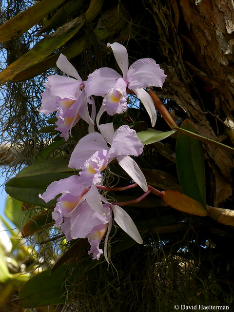 """Cattleya trianae, national flower and endemic species from Colombia. Here the concolor variety with pastel colors growing on a tree during an Expediciones Tolima BioDiversa """"Nature and orchids"""" tour that we guided for Martin Melgarejo with Claudia Guerra"""