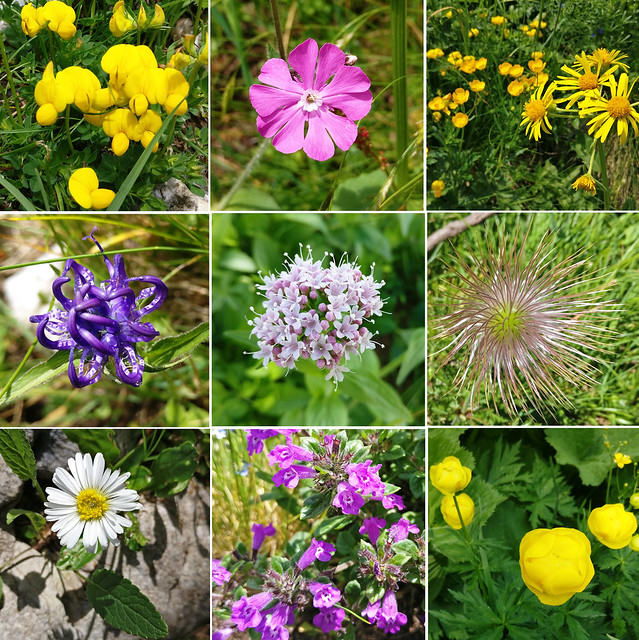 alp flowers