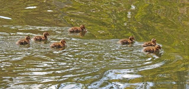 Pacific Black Duck Chicks