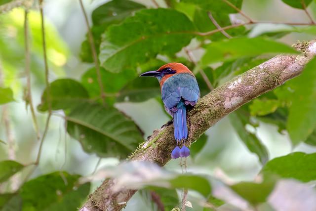 Motmot roux... Costa Rica Album