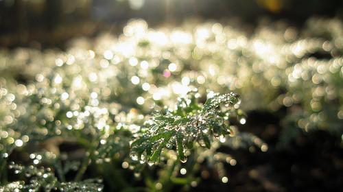 Morning dew. Bokeh Macro and close-up.