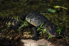 Sleeping Baby Alligator