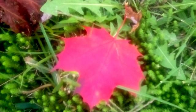 Maple leaf! Menominee Michigan