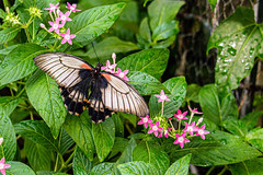 Female Great Mormon Butterfly