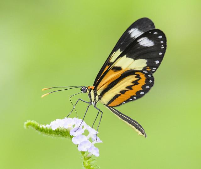 Lysimnia Tigerwing - Mechanitis lysimnia (Nymphalidae, Danainae, Ithomiini) 111s-9397