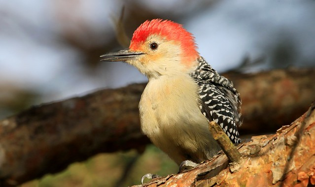 red-bellied woodpecker male at Lake Meyer Park IA 653A8100