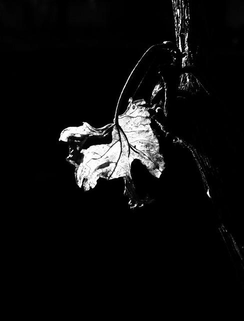 Monochrome. The last autumn leaf on the vine.