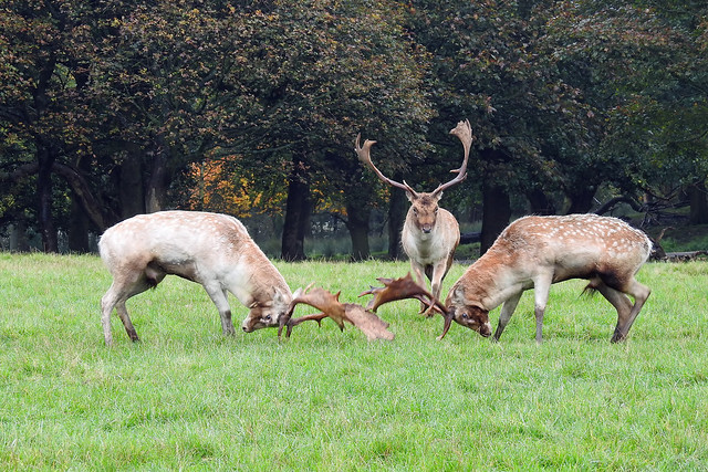 Rutting Fallow Deer under supervision by the Referee.
