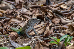 Amazon Race Runner - Ameiva ameiva - Brazilian Amazon Rainforest