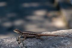 Amazon Lava Lizard - Tropidurus torquatus - Rio de Janeiro, Brazil