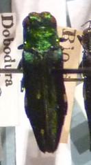 Agrilus opulentus (27-7-19 Harvard MNH)