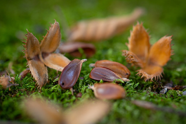 Beechnuts in the moss