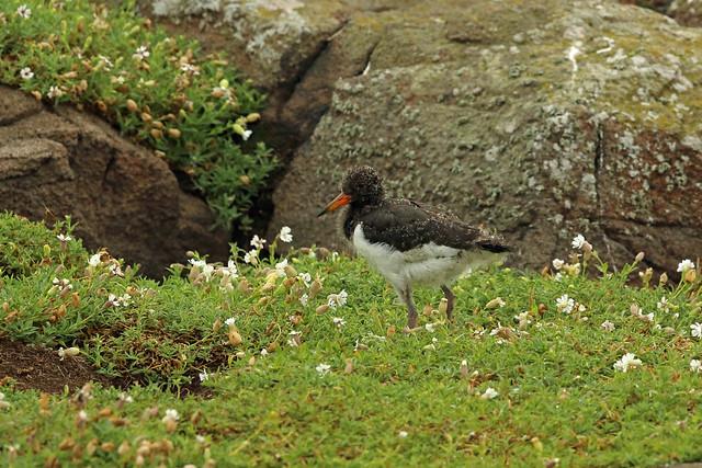 Eurasian Oystercatcher, Isle of May, Fife