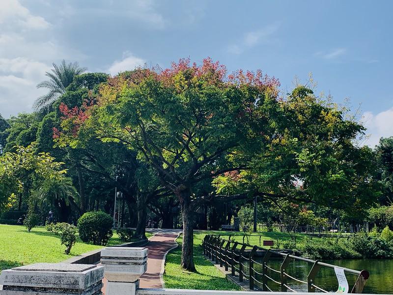 台湾栾树开花2019