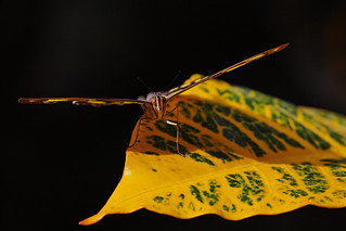 Close-up of a butterfly on a yellow-green leaf