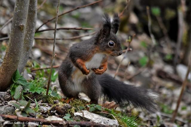 Écureuil roux (Sciurus vulgaris) (216)