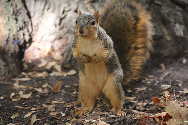 Juvenile and Adult Fox Squirrels in Ann Arbor at the University of Michigan - October 18th, 2019