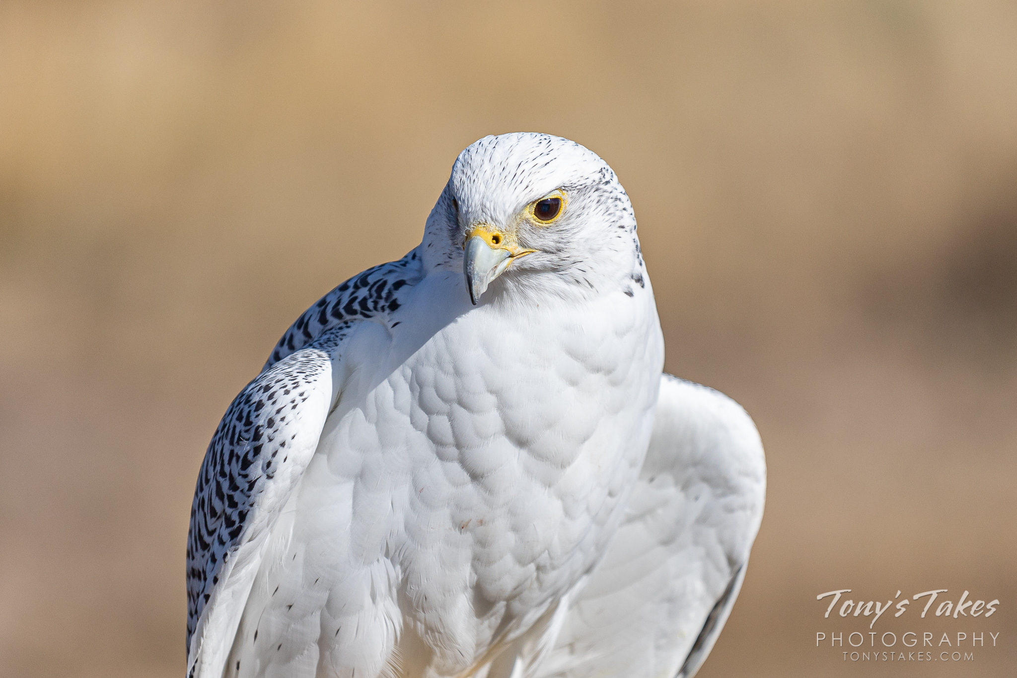 A gyrfalcon poses for pictures. (© Tony's Takes)