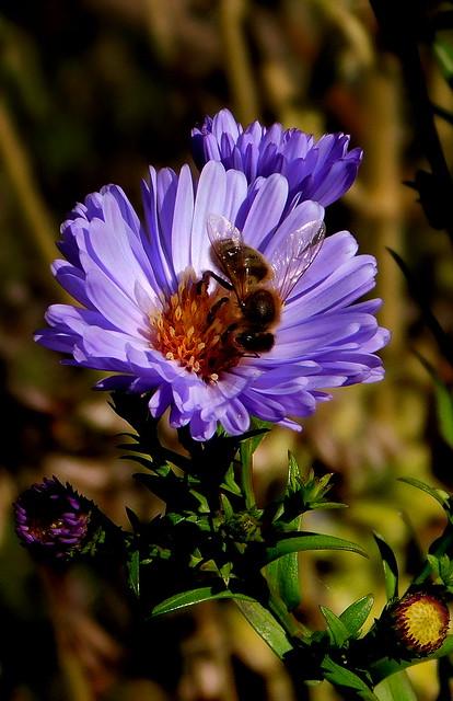 Aster i pszczoła.