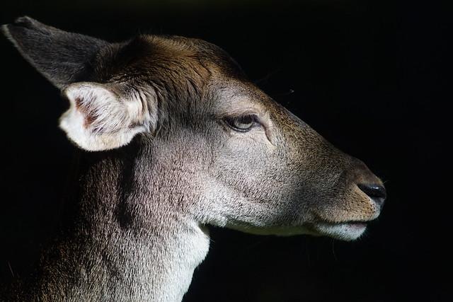 Wp ST               Fallow deer                191012