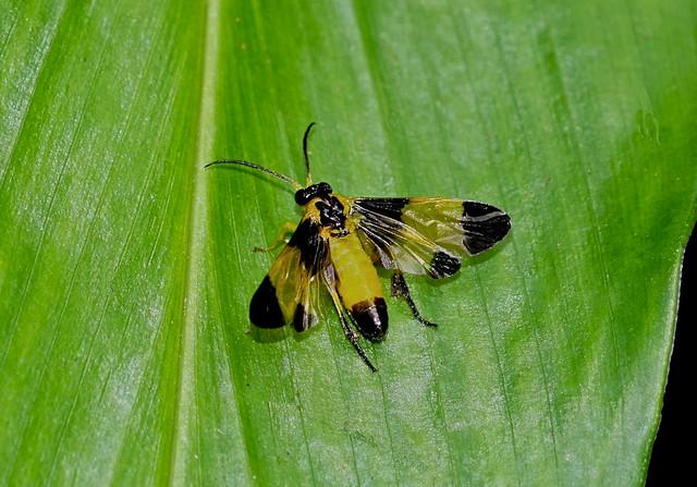 Sawfly to be identified