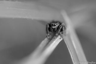 Araignée Saltique - Jumping Spider