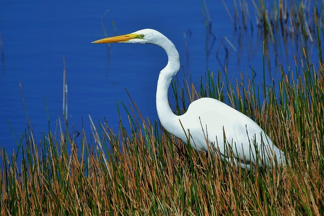 Great Egret Hunting (Ardea alba)