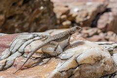 Neotropical Lava Lizard - Tropidurus hispidus - Jericoacoara, Brazil