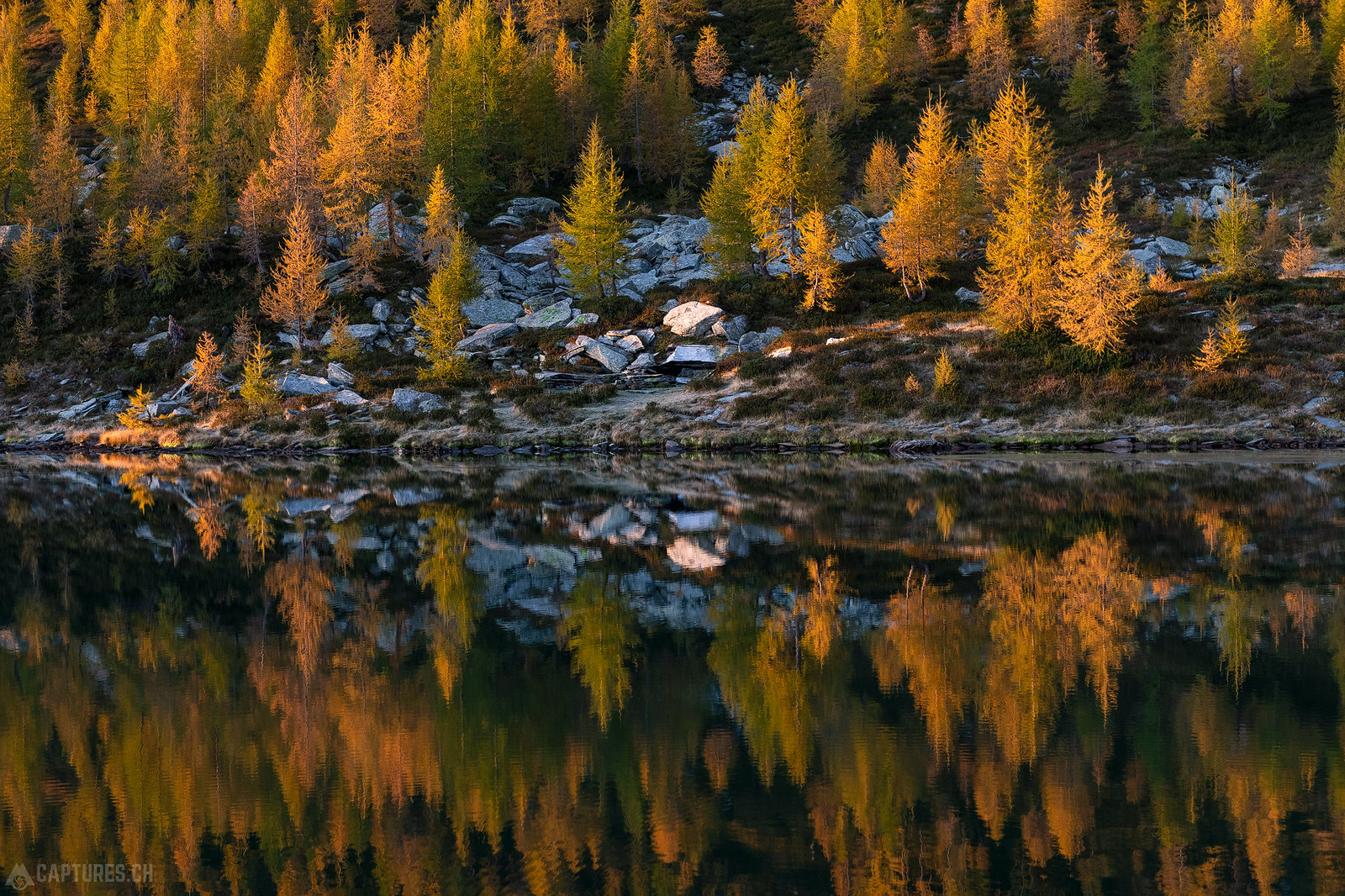 Golden larches - Lago dei Saléi
