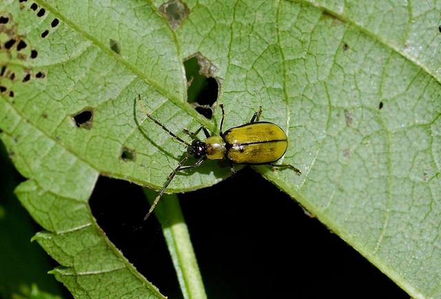 Leaf Beetle --- Diabrotica sp