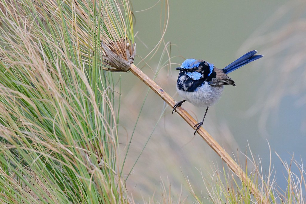 Superb Fairy-wren ( male)